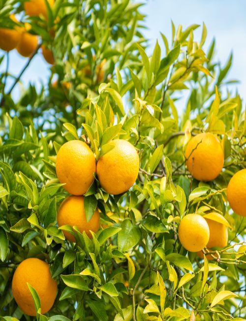 fresh oranges growing on tree